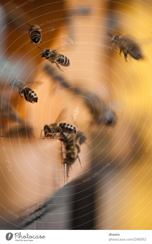 Busy Honey Bee-keeper Farm animal Beehive Insect Working man Group of animals Flock Flying Nature Diligent Buzz Collection Landing Departure Colour photo