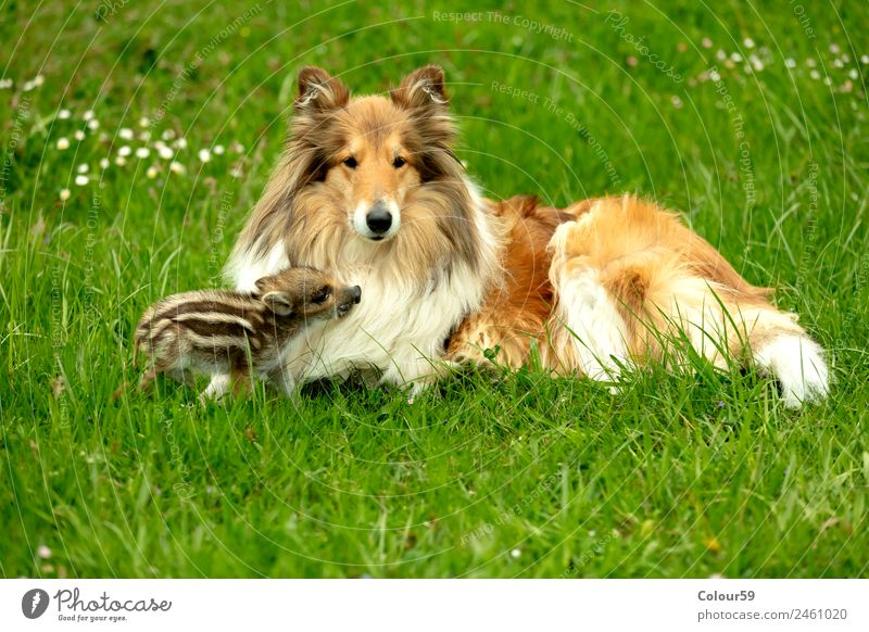 Freshman plays with Collie bitch Beautiful Playing Baby Friendship Nature Animal Spring Grass Meadow Pet Wild animal Dog 2 To enjoy Lie Small Funny Cute Brown