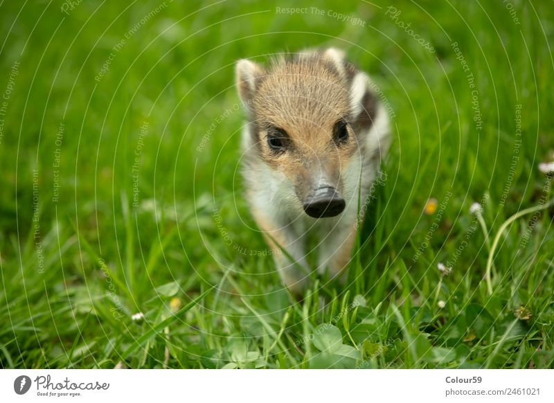 newbie Beautiful Baby Nature Animal Spring Grass Meadow Wild animal 1 Baby animal To enjoy Small Cute Brown Green White Happiness Boar youthful Young boar