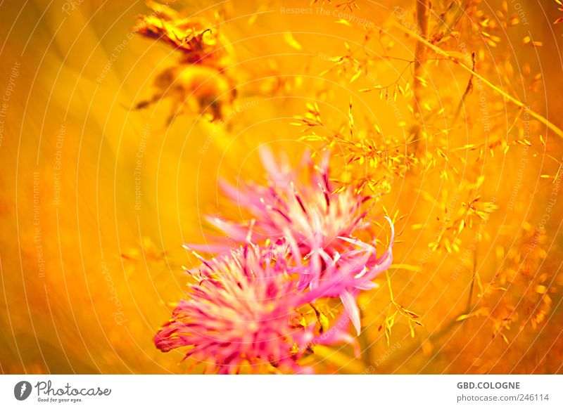 summer fairy tale Nature Plant Summer Flower Grass Cornflower Meadow Animal Bumble bee 1 Blossoming Fragrance Flying Natural Warmth Yellow Gold Pink Pollen