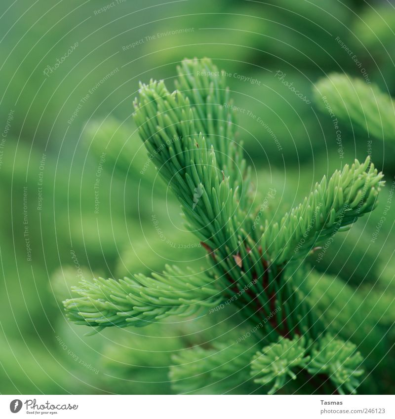 Oh Green World Environment Nature Plant Tree Foliage plant Evergreen plants Fir tree Fir branch Old Growth Juicy Clean Hope Colour photo Exterior shot Detail