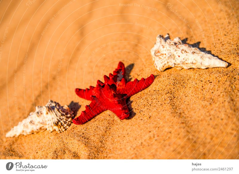 Sandy beach with starfish and snails Vacation & Travel Summer Beach Tourism Starfish Red Snail shell vacation holidays Summer vacation animals bowls Maritime