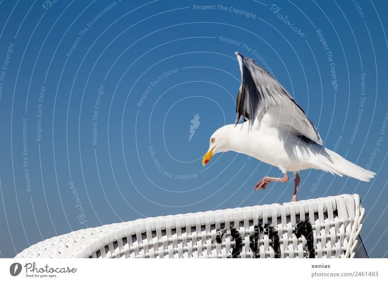 Runway free for a seagull on a wicker beach chair in front of a blue sky birds Seagull Sky Cloudless sky Beach Animal Wild animal Silvery gull Walking Blue