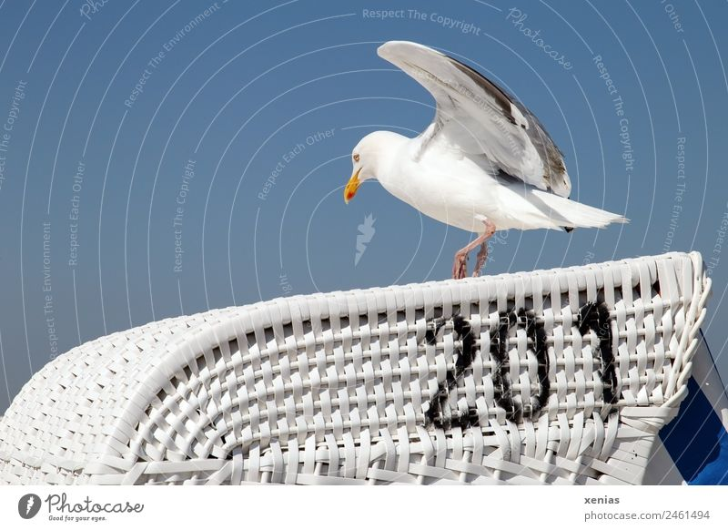Landing place 201 of a seagull in front of a blue sky Seagull Silvery gull Sky Cloudless sky Coast Beach Animal Wild animal birds Flying Walking Blue Black