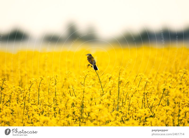 Nature Plant Landscape Animal Yellow Spring Bird Field Wild animal Observe Canola field