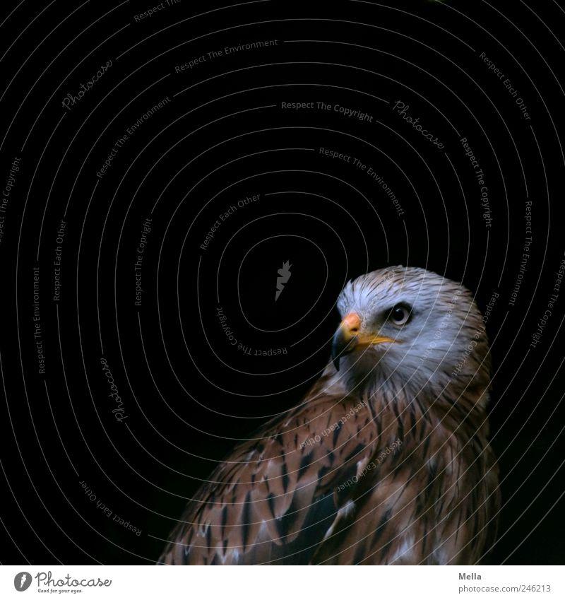 Calm Animal Dark Bird Esthetic Natural Near Beak Pride Plumed Bird of prey Kite Dignity Red kite