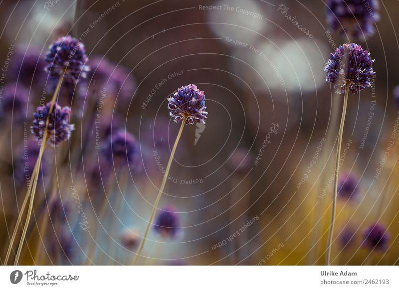 Round leek ( Allium rotundum) - Nature Design Beautiful Wellness Life Harmonious Well-being Contentment Relaxation Calm Meditation Spa Wallpaper Funeral service