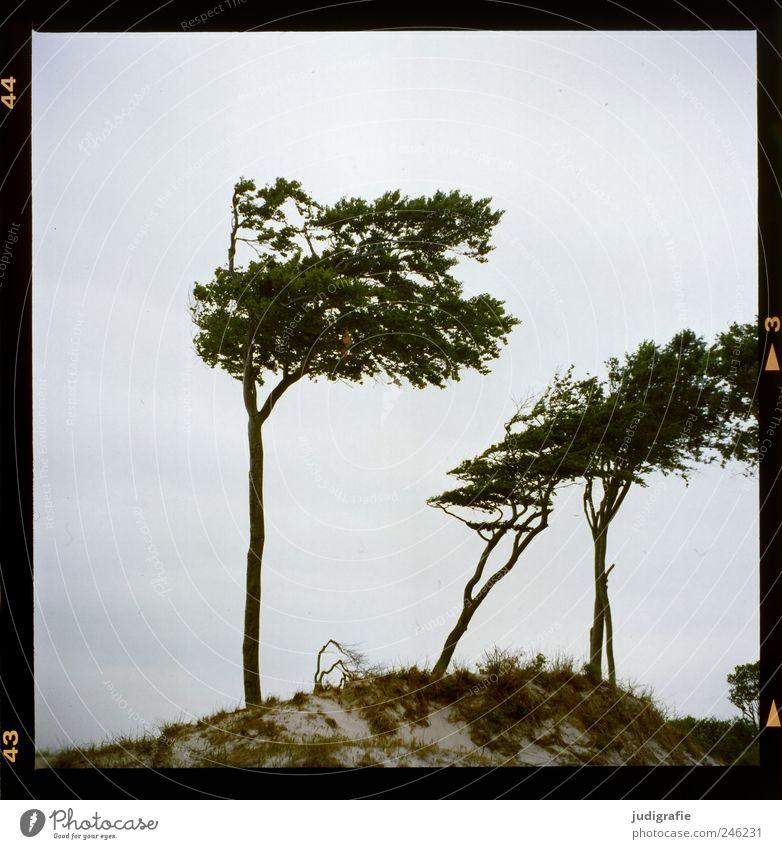 Nature Tree Plant Grass Landscape Environment Sand Coast Wild Natural Beach dune Baltic Sea Darss Western Beach Wind cripple