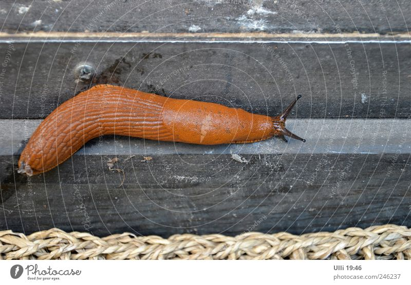 Nudibranch on the way to the nudist beach. Summer Animal Snail 1 Wood Wet Slimy Brown Indifferent Serene Power Calm Time sluggishness Nudist Colour photo
