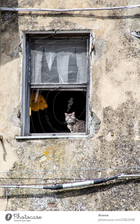 Way of life only with cat Cable Ruin Old building Facade Window Animal Cat 1 Observe Relaxation Sit Curiosity Gray Black Contentment Joie de vivre (Vitality)