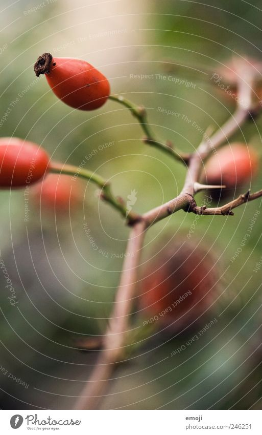Nature Red Plant Fruit Twig Thorn Thorn Twigs and branches Rose hip
