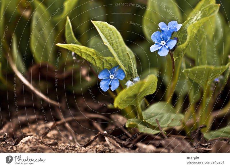 Don't forget me flowers in the bed Nature Plant Animal Earth Spring Summer Flower Leaf Blossom Foliage plant Forget-me-not Garden Park Blossoming Growth