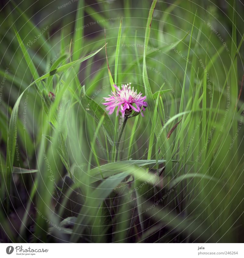 florence pink Environment Nature Plant Flower Grass Leaf Blossom Wild plant Meadow Esthetic Beautiful Green Pink Colour photo Exterior shot Deserted Day