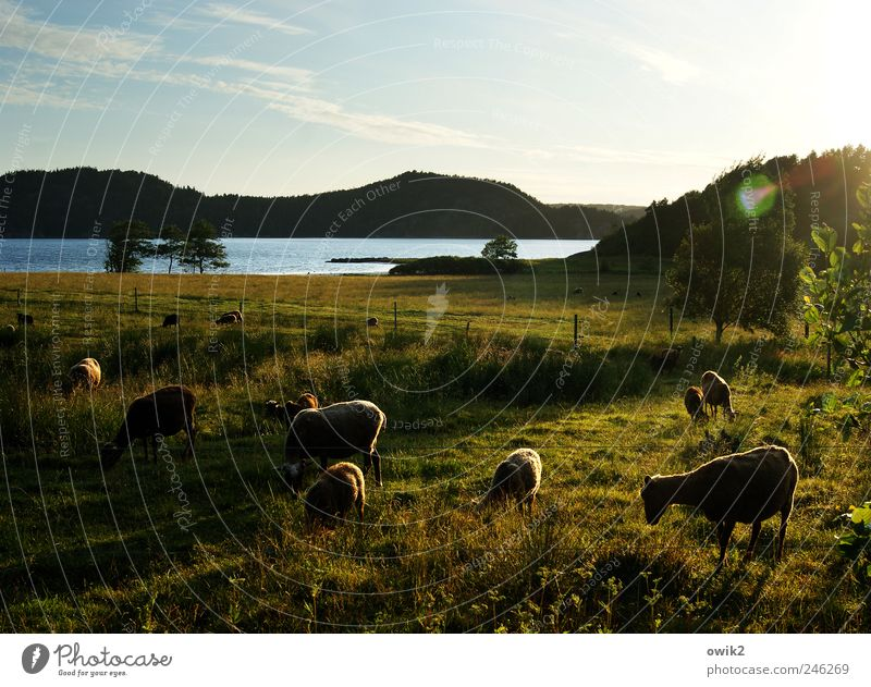 pastoral Environment Nature Landscape Plant Animal Water Sky Clouds Horizon Climate Beautiful weather Tree Bushes Meadow Coast Island Bohuslän Northern Europe