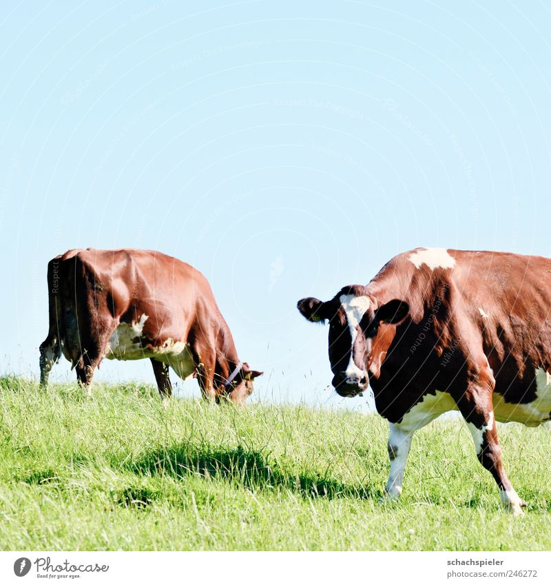 Cows make trouble Agriculture Forestry Nature Animal Sky Cloudless sky Grass Meadow Pasture Farm animal Blue Brown Green White Cattle Trade school primigenius