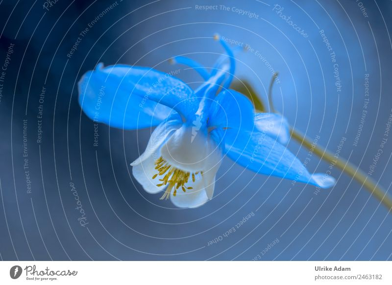 The blue and white columbine Elegant Design Harmonious Relaxation Decoration Wallpaper Image Card Feasts & Celebrations Nature Plant Spring Summer Flower