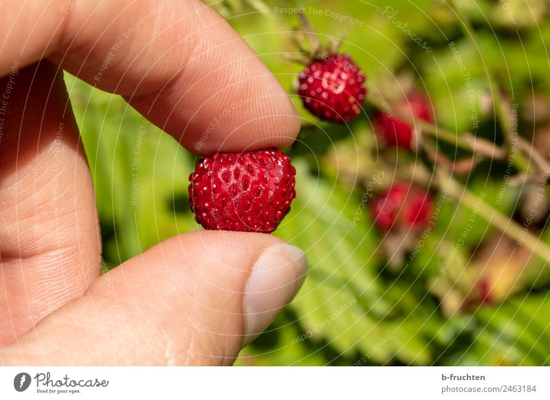 delicious wild strawberries Fruit Man Adults Hand Fingers Garden Forest Select To hold on Fresh Healthy To enjoy Wild strawberry Candy Delicious Colour photo