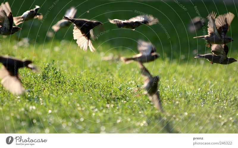 sparrows in the park Nature Landscape Plant Animal Park Meadow Wild animal Bird Wing Group of animals Flock Flying Gray Green Sparrow Floating Many Grass