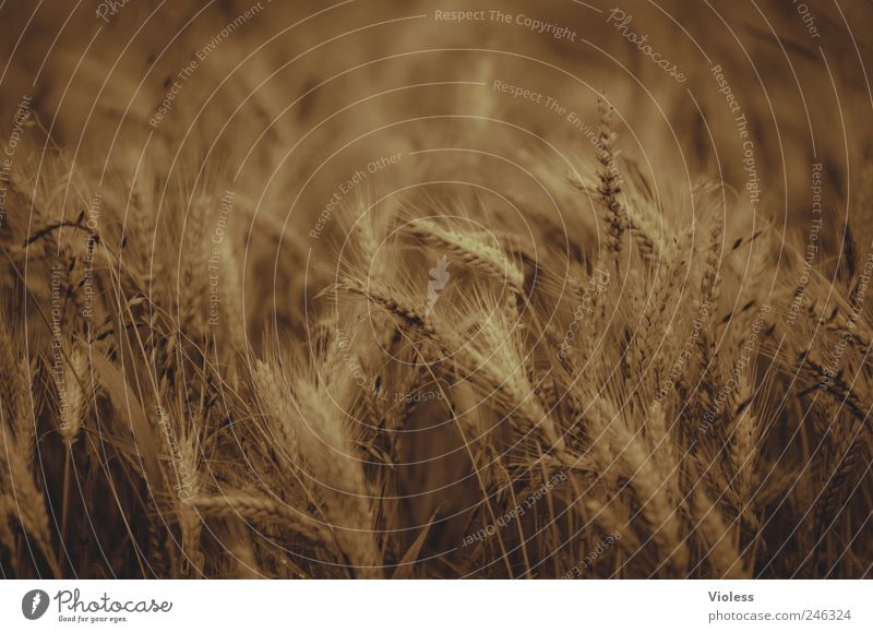 goldengrain Nature Plant Agricultural crop Field Gold Harvest Wheat Wheatfield Colour photo