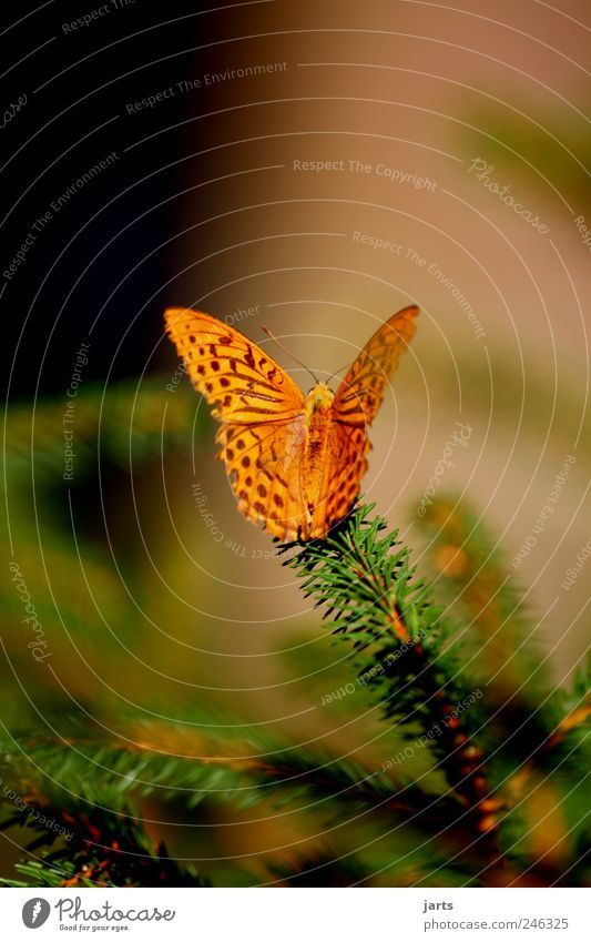 beautiful life Nature Plant Summer Beautiful weather Tree Animal Farm animal Butterfly 1 Silver-washed fritillary Colour photo Exterior shot Close-up Deserted
