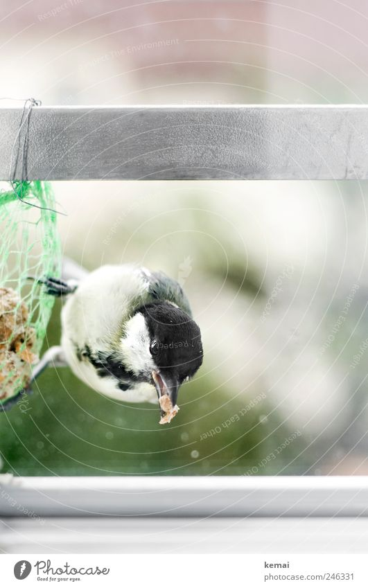 Eyes Animal Window Bird Sit Animal face Wild animal Hang To feed Beak Feeding Crouch Claw Love of animals Birdseed Tit mouse