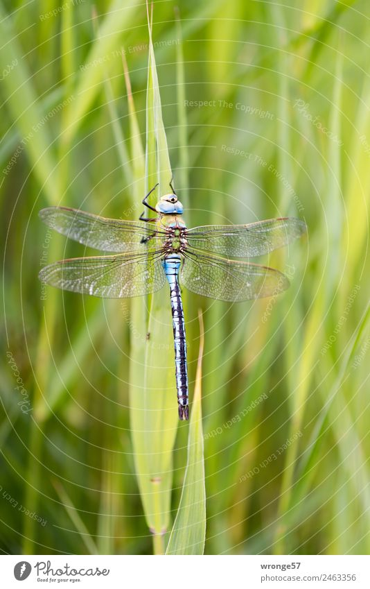 Biocopter III Nature Plant Animal Common Reed Lakeside River bank Wild animal Insect Dragonfly 1 Sit Near Natural Blue Green Resting place Close-up