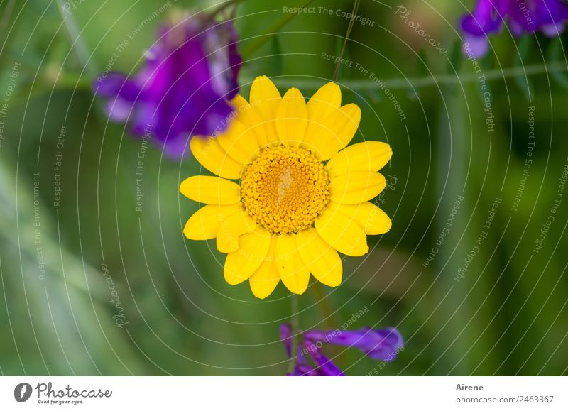 sun-yellow flower Plant Summer Flower Marguerite Camomile blossom Meadow Flower meadow Blossoming Natural Positive Yellow Green Violet Joie de vivre (Vitality)