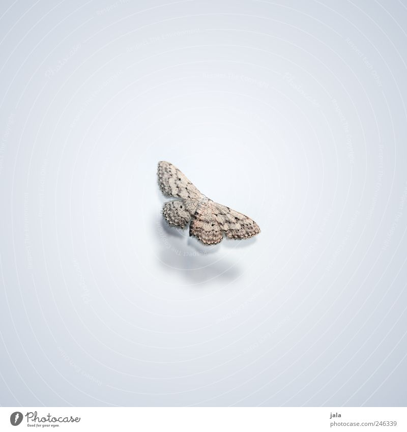 White Beautiful Animal Gray Brown Elegant Esthetic Wild animal Wing Insect Butterfly