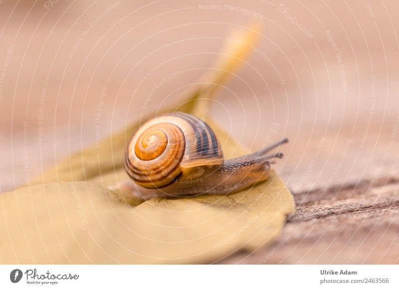snail Nature Animal Spring Summer Autumn Leaf Snail Snail shell Insect 1 Brown Love of animals Caution Speed Mobility Target Lateral fold lizards Crawl Slowly