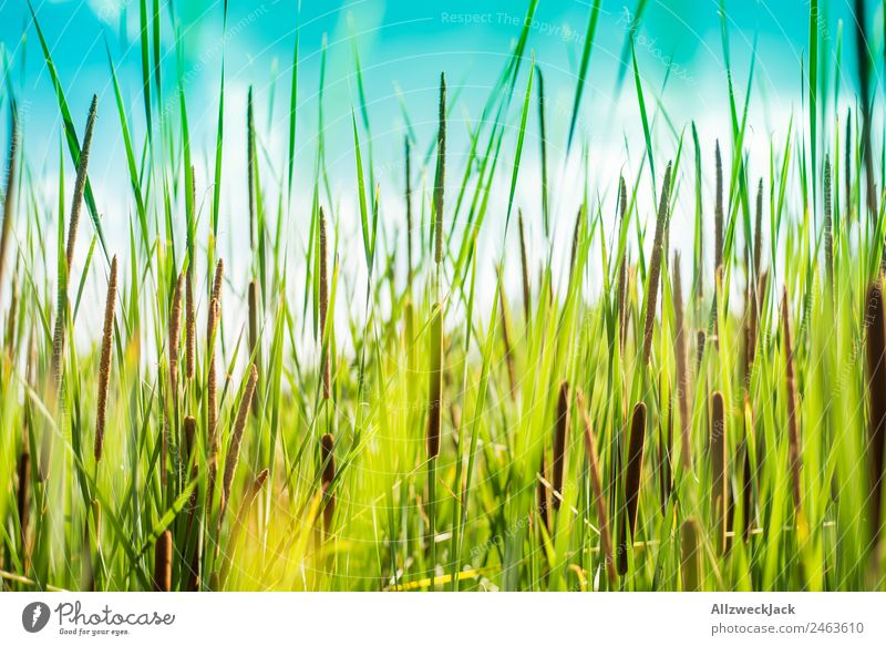 Close-up of reed on the lake shore Deserted Summer Blue sky Beautiful weather Lake Lakeside Nature Green Plant Common Reed Animal Calm Still Life Relaxation