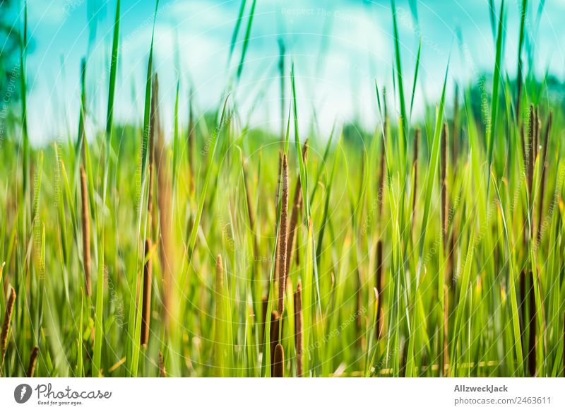 Close-up of reed on the lake shore Deserted Summer Blue sky Beautiful weather Lake Lakeside River bank Nature Green Plant Common Reed Animal Calm Still Life
