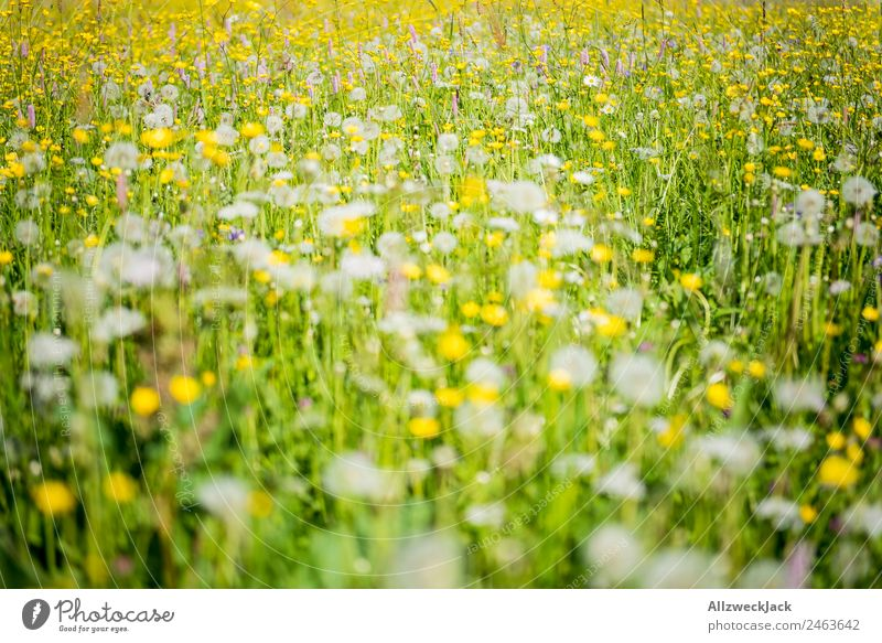 flowering alpine meadow in summer Summer Beautiful weather Nature flora flowers grasses Meadow Green puff flowers Juicy Alpine pasture Yellow Detail Deserted