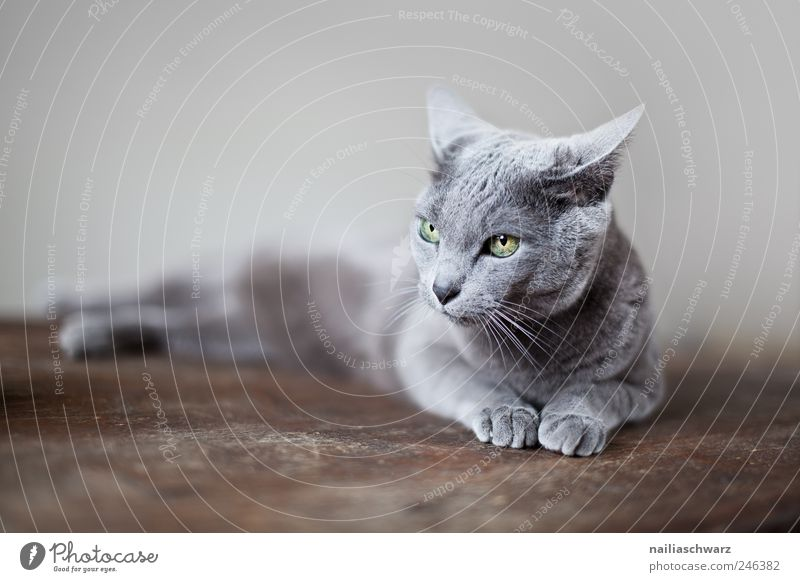 Blue Animal Relaxation Gray Cat Brown Elegant Lie Esthetic Silver Pet Russian Purebred