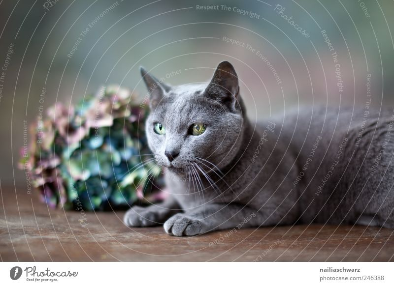 Blue Plant Flower Animal Gray Cat Brown Contentment Elegant Lie Esthetic Silver Pet Russian Hydrangea Hydrangea blossom