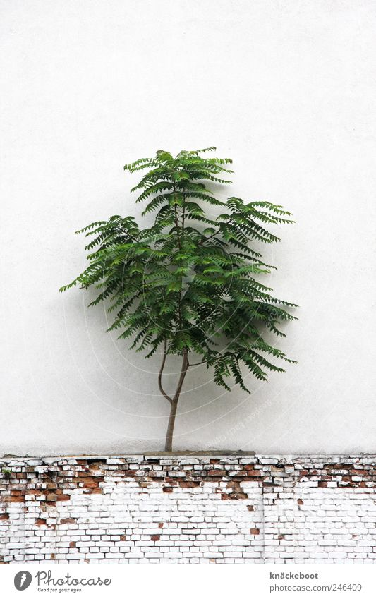 mauerBLÜMCHEN Nature Plant Summer Tree Wild plant Wall (barrier) Wall (building) Whimsical Surrealism Colour photo Exterior shot Deserted Copy Space top Day