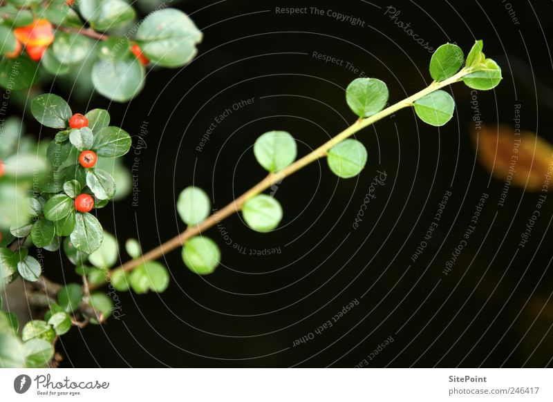 Cotoneaster Garden Nature Plant Leaf Foliage plant Wild plant Pond Calm Berries Fruit Twig Diagonal Colour photo Close-up