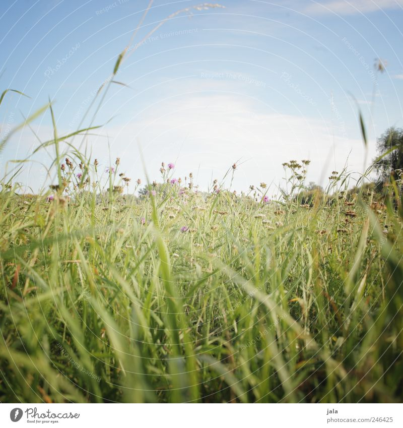 meadow Environment Nature Landscape Plant Sky Flower Grass Foliage plant Wild plant Meadow Natural Blue Green Colour photo Exterior shot Deserted Copy Space top