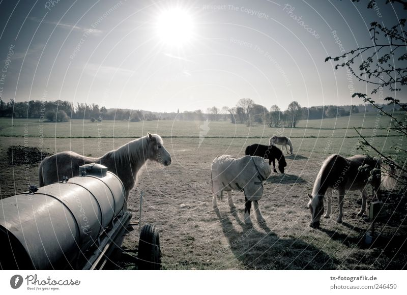 Where'd all the cowboys go? Cloudless sky Horizon Sun Sunrise Sunset Spring Summer Beautiful weather Field Animal Horse Group of animals Herd Bright Brown Green