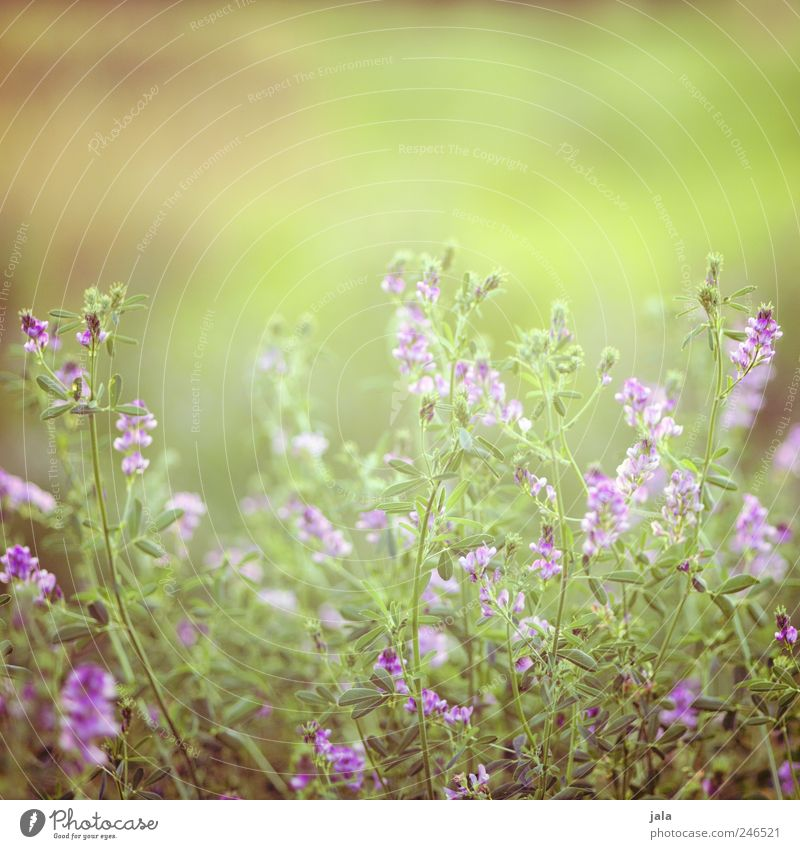 Nature Green Beautiful Plant Summer Flower Leaf Meadow Blossom Grass Environment Natural Kitsch Violet Wild plant