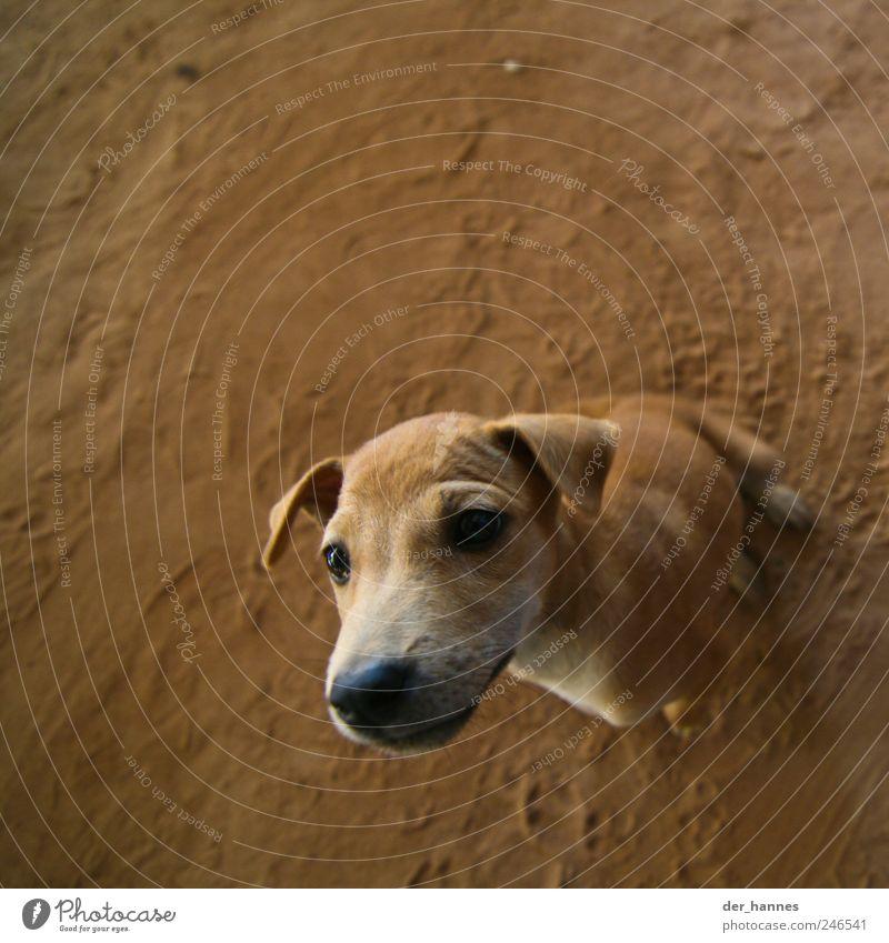 Animal Dog Brown Baby animal Observe Curiosity Animal face Surprise Brash Pet Interest Snout Lop ears