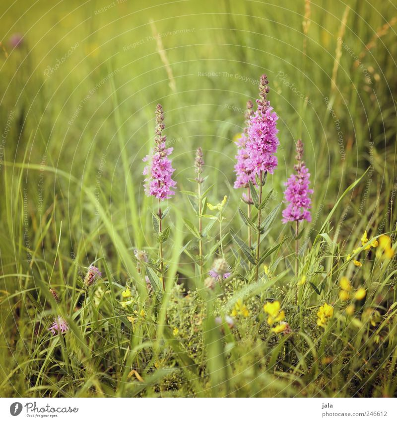 weiderich Environment Nature Landscape Plant Flower Grass Blossom Foliage plant Wild plant loosestrife Meadow Esthetic Natural Green Pink Colour photo