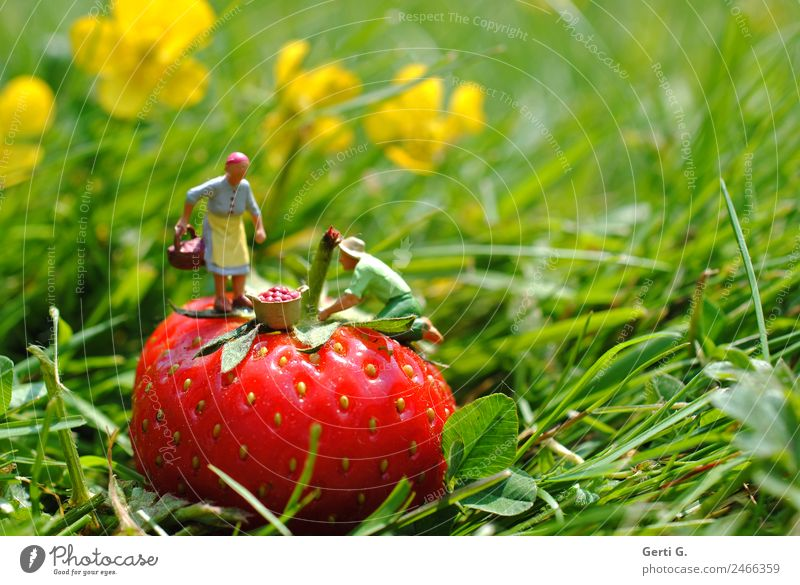 Miniature Figures - StrawberryPicker Fruit Nutrition Work and employment Profession Agriculture Forestry Services Masculine Feminine 2 Human being Nature