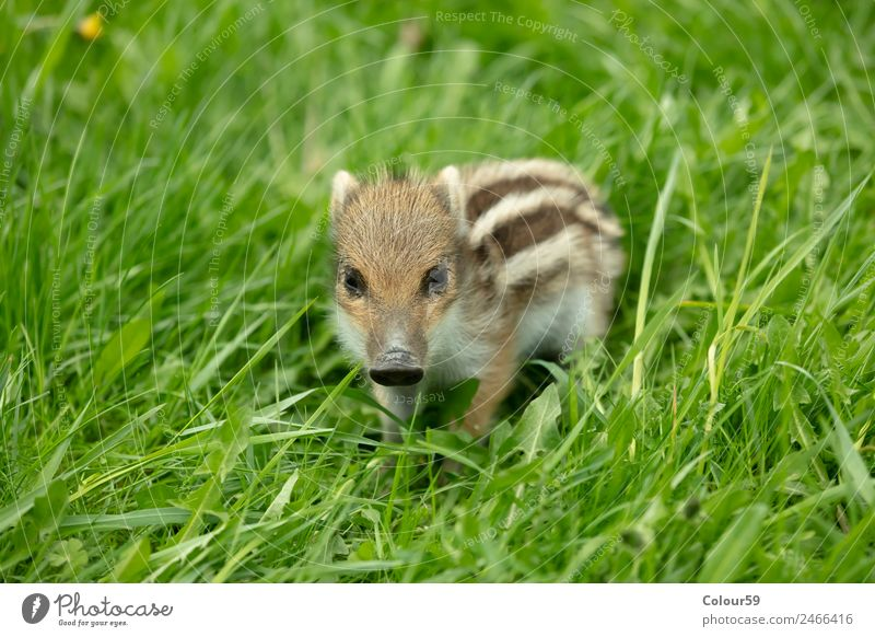 Fresh boar with stripes Beautiful Baby Nature Animal Spring Grass Meadow Wild animal 1 Baby animal Small Cute Brown Green White Boar youthful Young boar Piglet