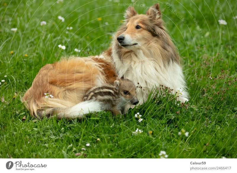 Collie bitch with newbie Beautiful Playing Baby Friendship Nature Animal Spring Grass Meadow Wild animal Dog 2 Pair of animals Baby animal Lie Small Funny Cute