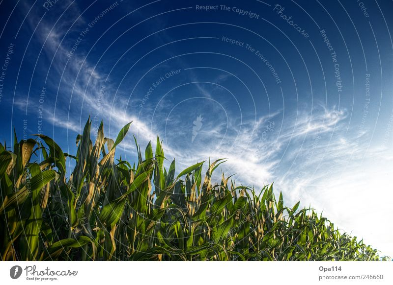 maize field Environment Nature Landscape Plant Animal Sky Clouds Sun Sunlight Summer Beautiful weather Agricultural crop Field Blossoming Illuminate Growth
