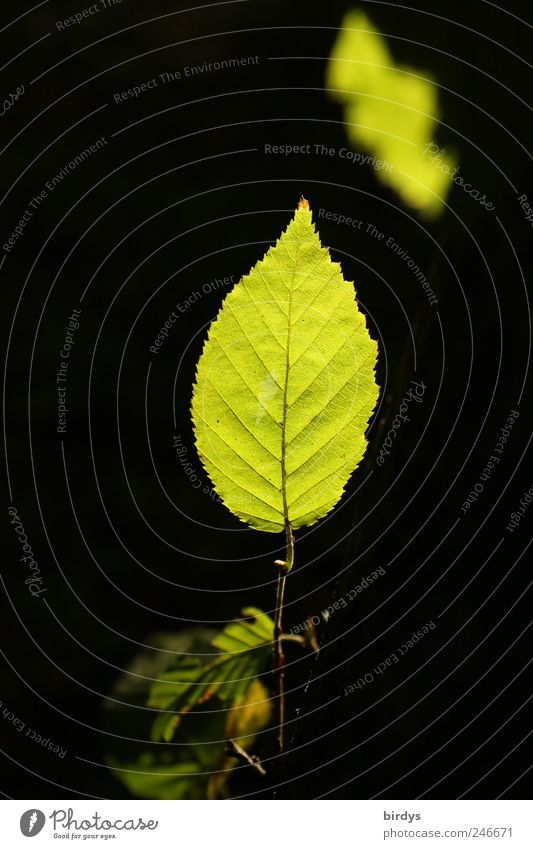 leaf lamps Nature Plant Summer Leaf Foliage plant Illuminate Esthetic Exceptional Fresh Natural Green Black Grove birch Vertical Rachis Leaf green Contrast