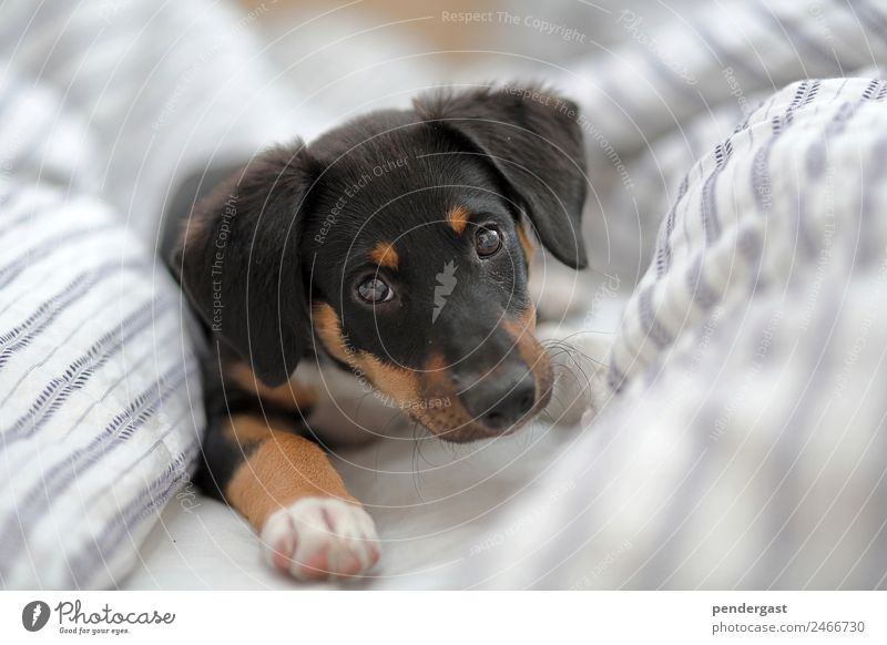 Hundewelpe im Bett Dog 1 Animal Beginning Sleeping place Warmth Colour photo Close-up Morning Day Central perspective Animal portrait Looking into the camera