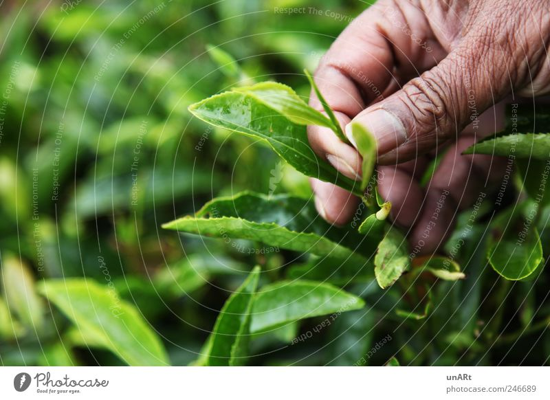 tea leaves Hand Fingers 1 Human being 45 - 60 years Adults Plant Bushes Leaf Agricultural crop Green Colour photo Close-up Copy Space left Day