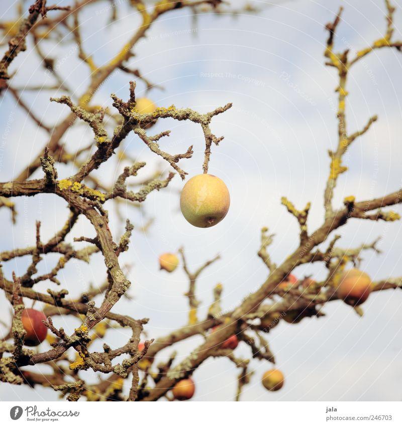 Sky Nature Old Tree Plant Environment Food Fruit Apple Branch Strong Organic produce Apple tree Vegetarian diet Agricultural crop