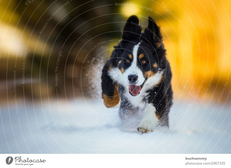 Young Bernese mountain dog in the snow Winter Nature Animal Pet Dog 1 Running Playing Cool (slang) Happiness Yellow Black White Power Leisure and hobbies Joy